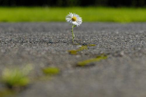 Flor no asfalto